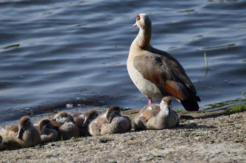 gyvūnų pasaulis,paukštis,gamta,vandenys,gyvūnas,žąsis,vandens paukštis