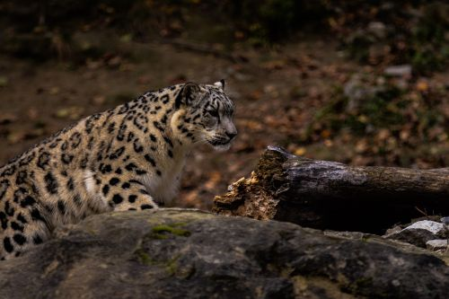 animal world,mammal,nature,carnivores,animal,leopard,cat,wild,predator,large,fur,hunter,endangered species,zoo,tree,log,snow leopard