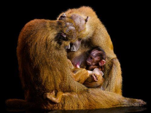 animal world monkey mammal