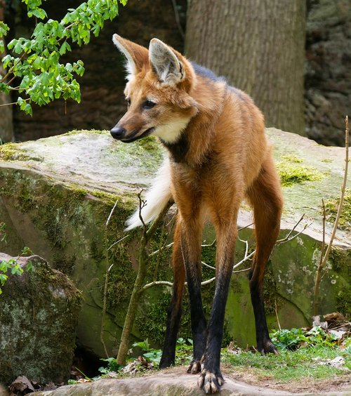 animal world  wolf  maned wolf