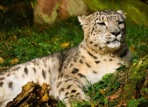 animal world  leopard  snow leopard
