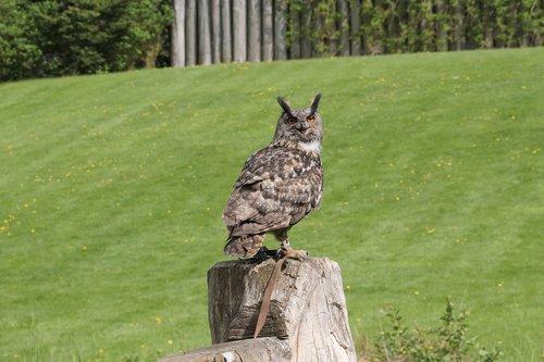 animal world  eagle owl  bird