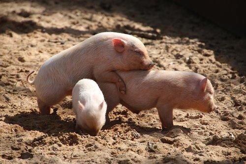 animal world  pet  pig