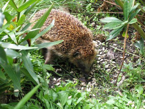 animal world nature hedgehog