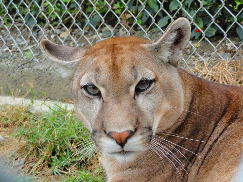 animalia wild life cat