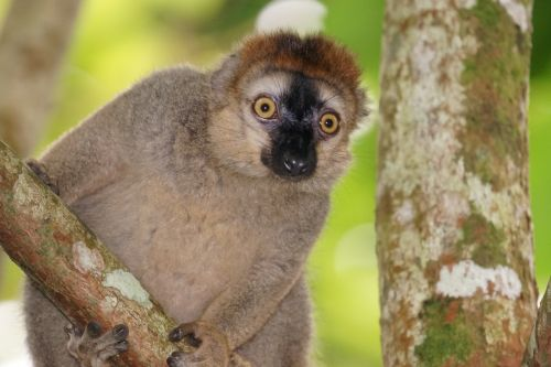 animals red-fronted lemur female
