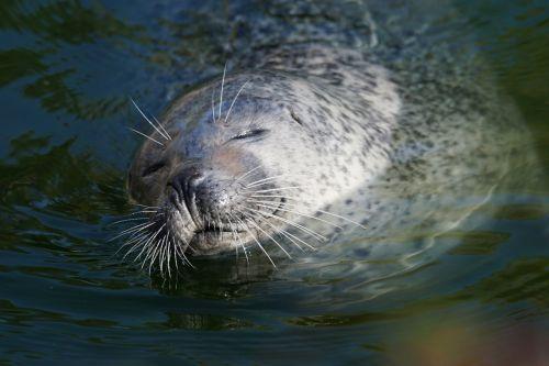 animals predator seal