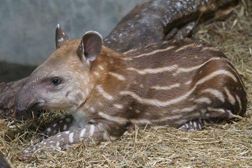 animals mammal perissodactyla
