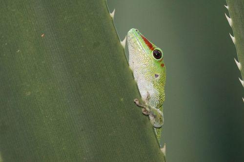 animals reptile gecko