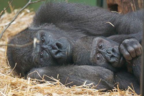 animals primates apes