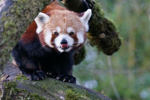 animals small-panda red panda