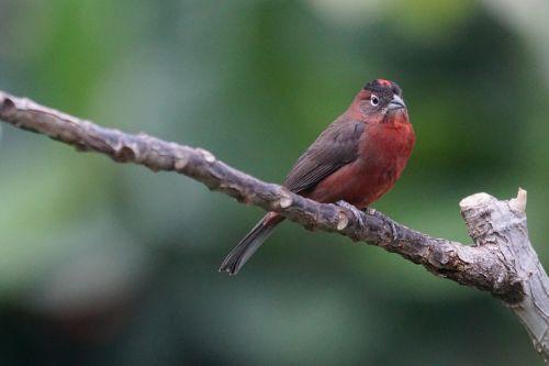 sperling red kronfink fink
