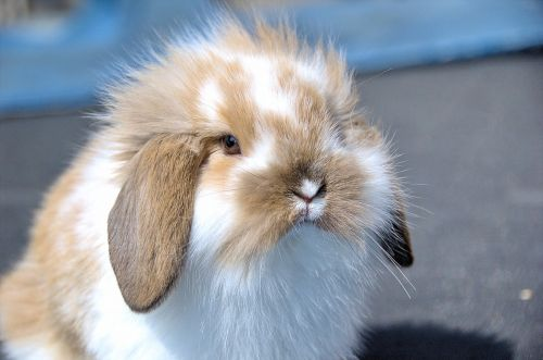 flemish lop rabbit rabbit very affectionate