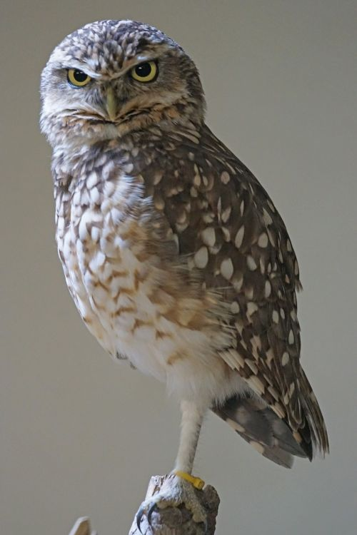 burrowing owls bird