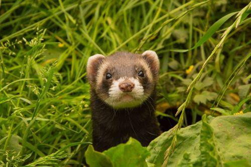 animals ferret animal welfare