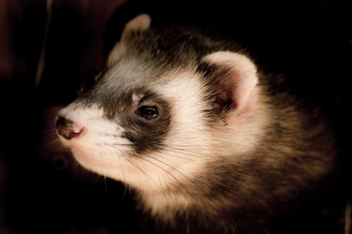 animals animal portrait ferret