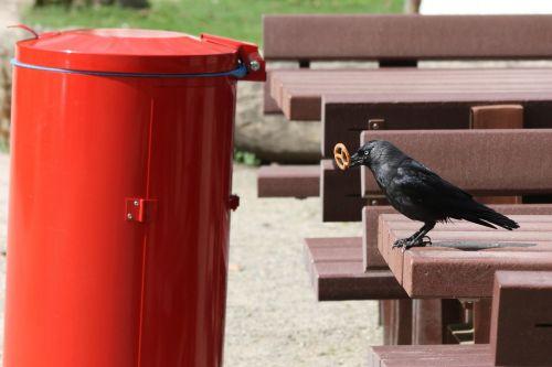 animals birds jackdaw