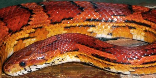 snakes corn okeetee