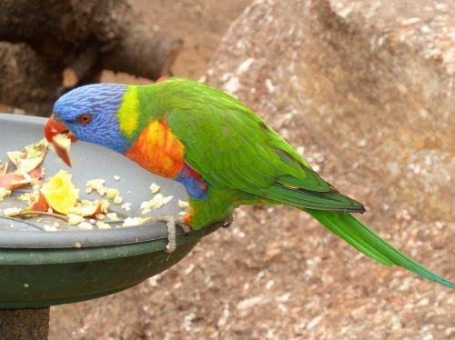animals lorikeet bird