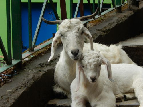 goats baby goat animals