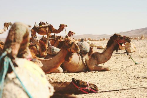 animals camels desert