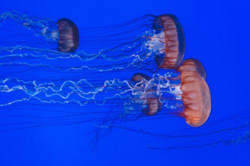 animals jellyfishes ocean