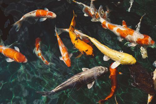 animals fishes koi fishes