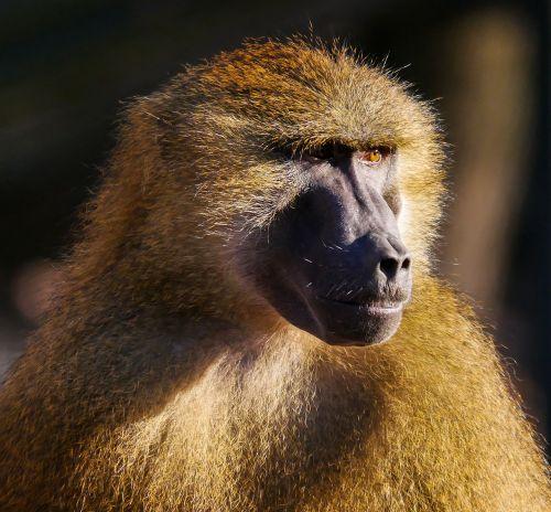 animals ape barbary ape