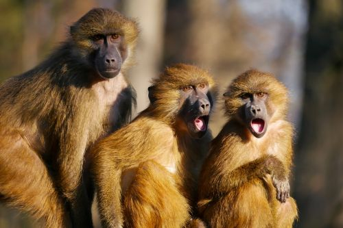 animals ape berber monkeys