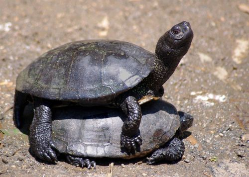 animals turtles panzer