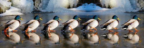 animals ducks water bird