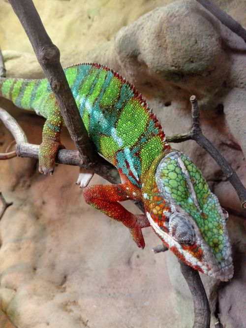 animals the lizard gad