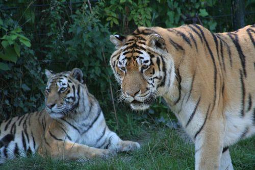 animals tiger predator