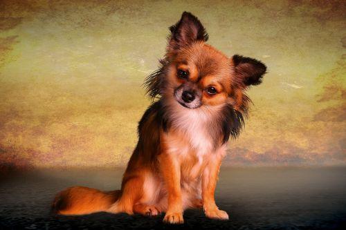 animals dog chiwawa