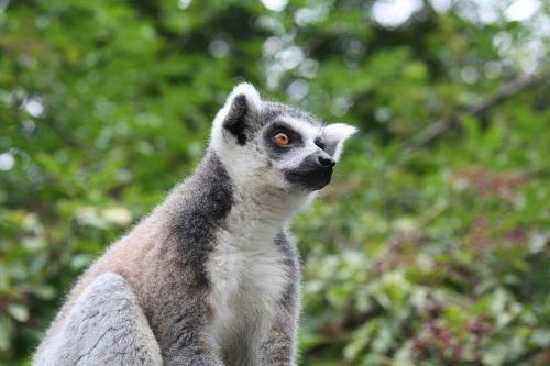 animals lemur nature