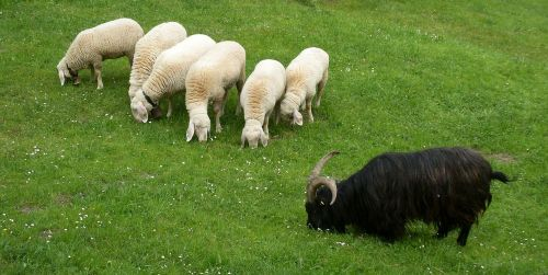 animals sheep wool
