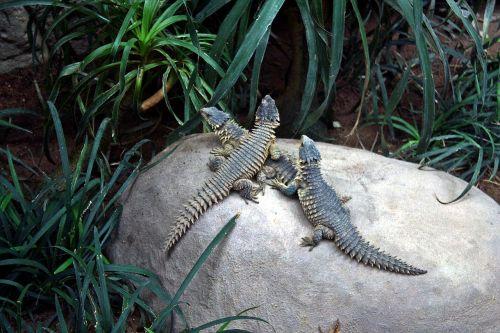 animals reptile salamander