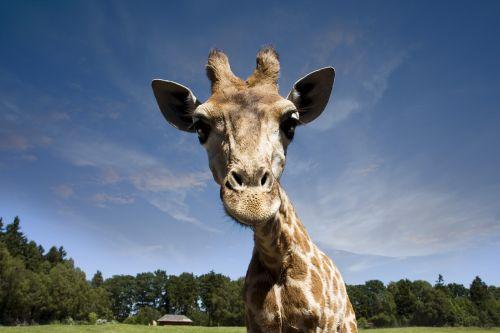 animals giraffe wilderness
