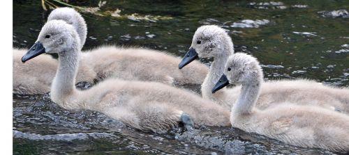 animals young water bird