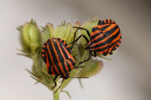 animals bugs striped