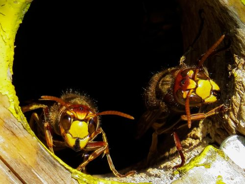animals hornets insect