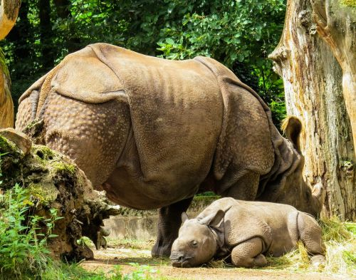 animals rhino pachyderm