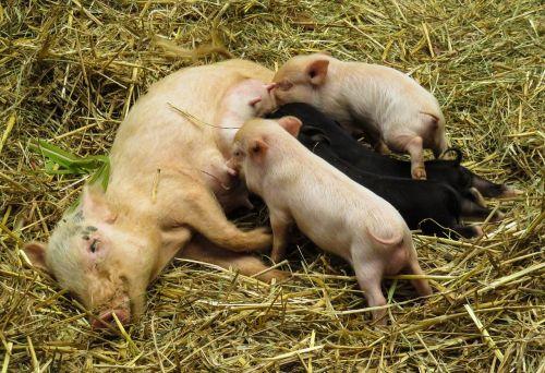 animals pig domestic pig