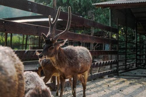 animals mammals reindeers