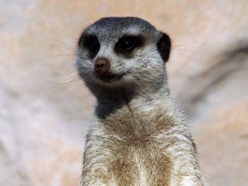 animals zoo meerkat