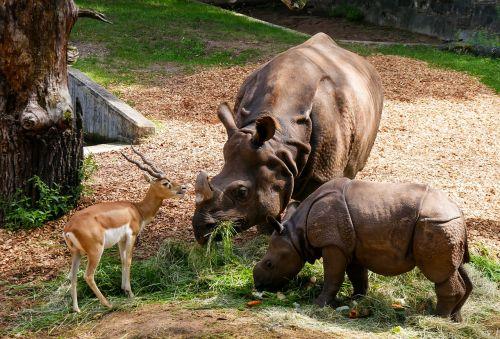 animals rhino rhino baby