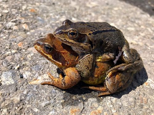 animals frogs pair