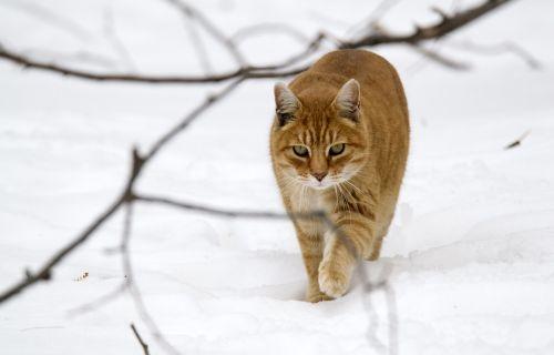 animals cat tabby