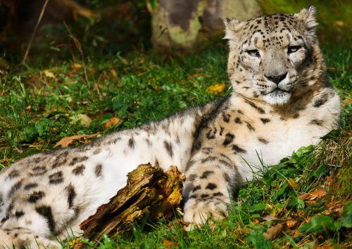 animals cat leopard