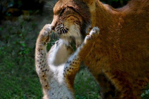animals lynx lynx mom with lynx child